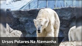 Essa Mulher Resolveu Nadar Com Ursos Polares Na Alemanha, Veja O Que Aconteceu!