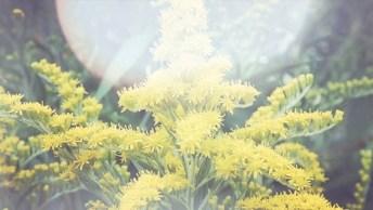 Arnica - Uma Ótima Planta Medicinal Para Uso Externo, Confira!