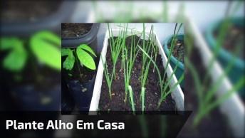 Como Plantar Alho Em Casa, Nunca Mais Você Vai Precisar Comprar!
