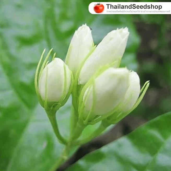 จำหน่ายเมล็ดพันธุ์ดอกมะลิ (เมล็ดพันธุ์คุณภาพดี)