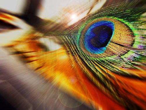 Peacock_dream_by_tartan33-d3h6cmg_large