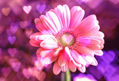 cute  flower  heart  petal  pink   inspiring picture on Favim com