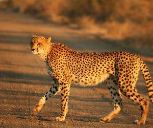تفسير رؤية الفهد في المنام حيوان فهد يطادرني في الحلم