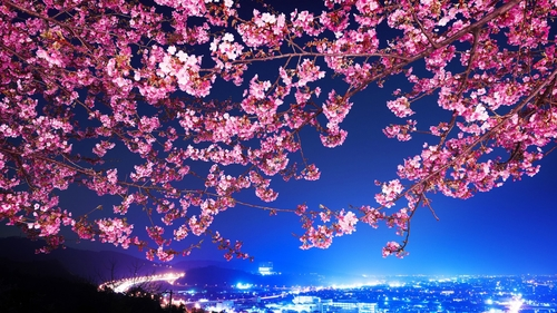 Lovely-cherry-blossoms-304471_large
