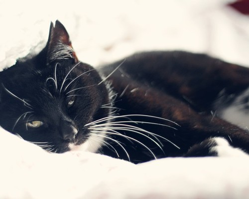 black and white cat drowsy in bed