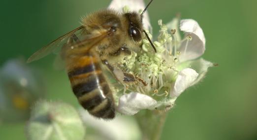 Honey bee - northeastwildlife.co.uk - northeastwildlife.co.uk