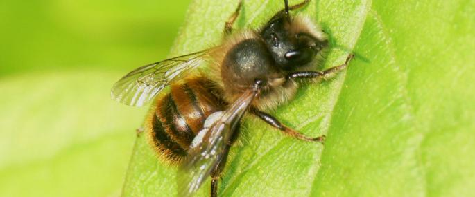 Red mason bee - bramblejungle - bramblejungle