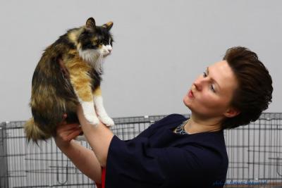 Лучшая кошка среди Курильских бобтейлов