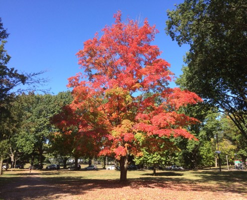 Autumn tree on Cook Campus, taken by Sage Lichtenwalner