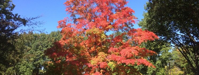 Autumn tree on Cook Campus, taken by Sage Lichtenwalner