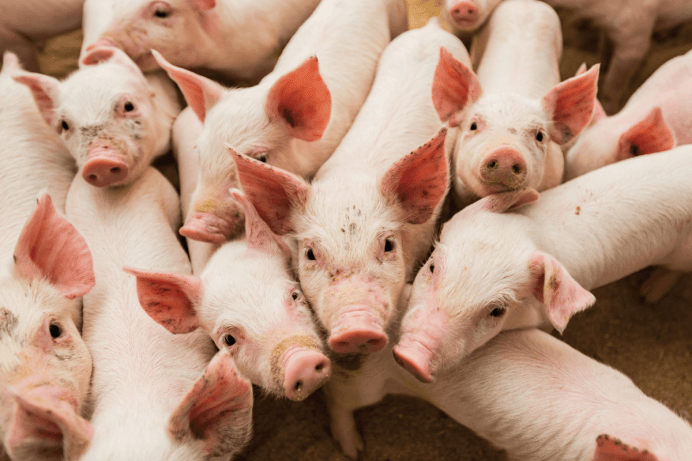 COVID-19-Have-Been-Rendered-More-Probable-By-African-Swine-Fever-1