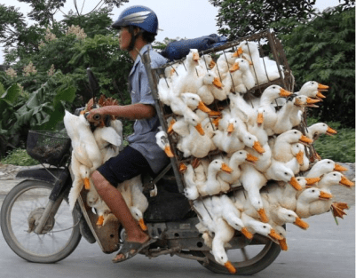 Vietnamese Motobikes With Ducks