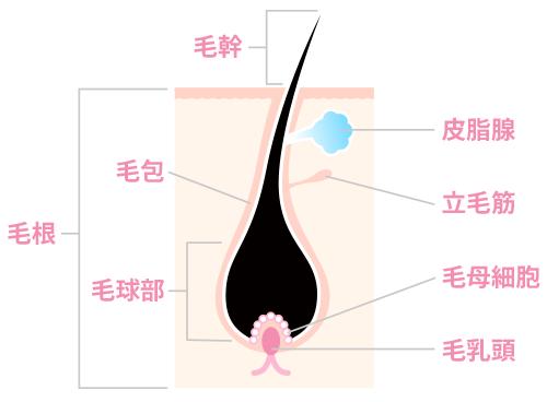 「成長期毛器官」の画像検索結果
