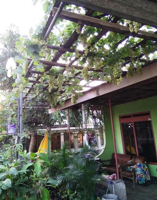 Pergola Anggur di Teras Rumah
