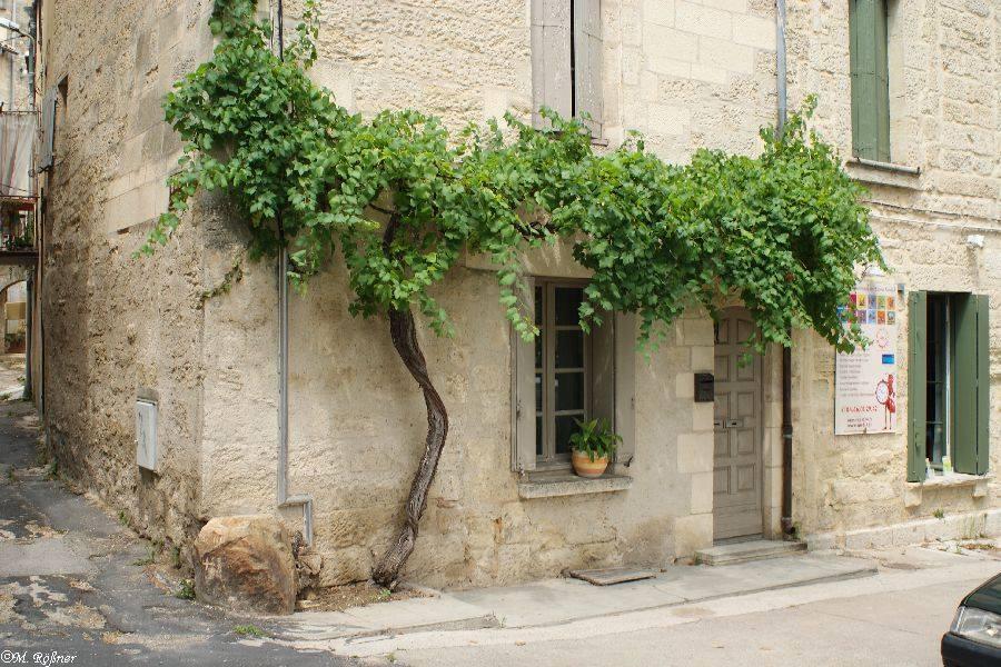 (Tanya-Jawab) Pohon Anggur Saya Kok Tidak Kunjung Berbuah?