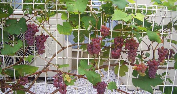 Pagar Pohon Anggur
