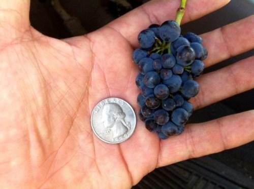 Varietas anggur berbuah kecil dan masam