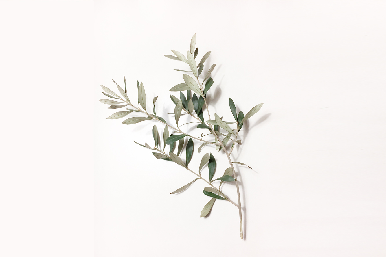 Branca olivera foto