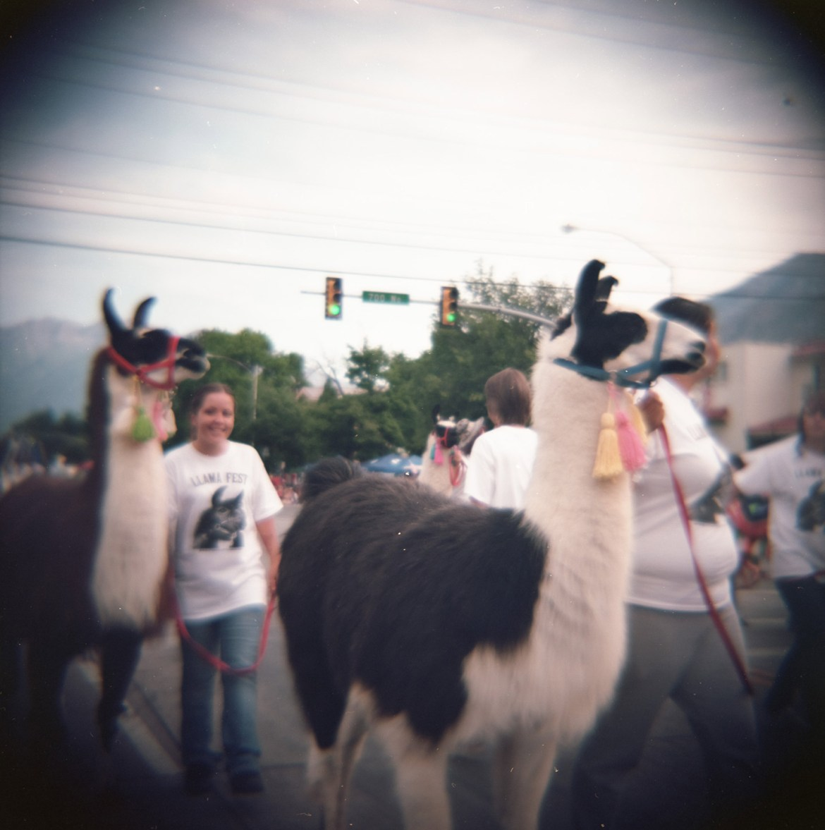Llamas walk in the Freedom Festival Parade in Provo