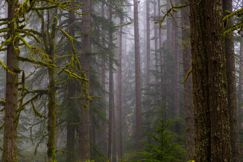 A foggy Oregon Forest