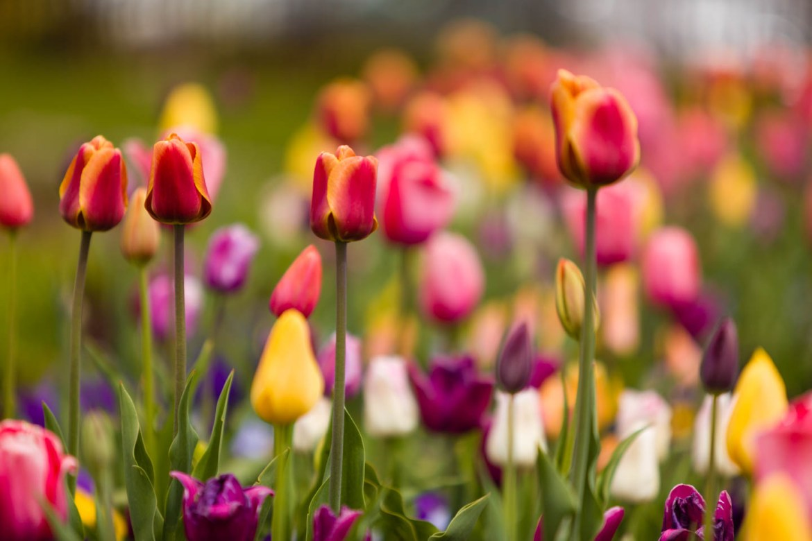 Tulips at Oquirrh Mountain Temple