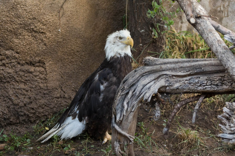 A bald eagle hides behind a branch