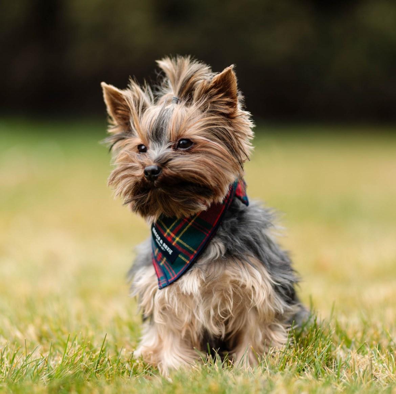 Yorkie sporting a doggie bandana