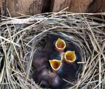 baby bluebirds in a nest box! (in Virgina.)