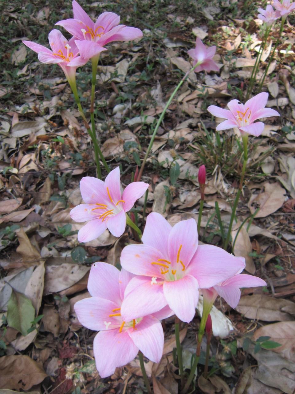 Pyin Oo Lwin - National Kandawgyi Botanical Gardens - pink fowers
