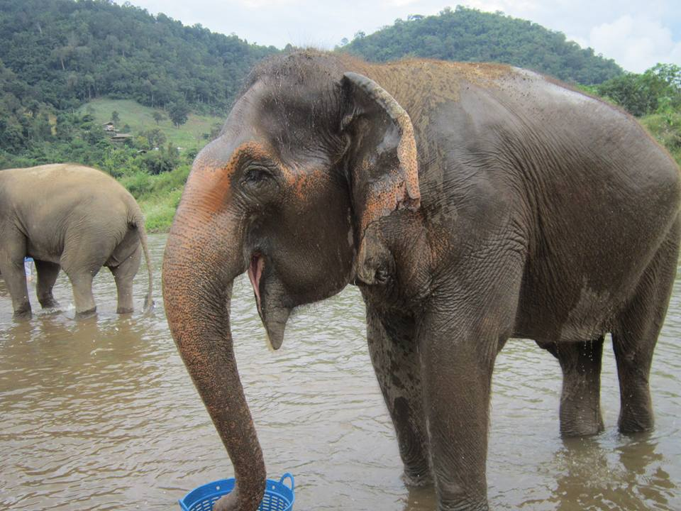 A happy looking Elephant enjoying playtime in the river. Its trunk is takign water from a bucket.