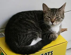 Female grey tabby and white cat resting
