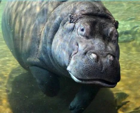 Photo of a Hippo