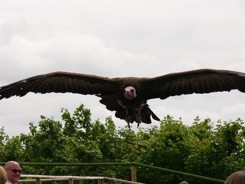 A vulture dive bombing Lynn!