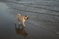 Dizzy has become a water dog. He used to be afraid of it, now he loves it. And like a good, experienced beach goer, he never turns his back on the ocean! One sneaker wave was enough for the three of us...