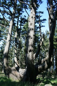 The Octopus Tree at Cape Meares State Park, the largest Sitka Spruce in the state of Oregon.