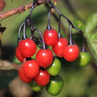 Deadly Nightshade berries, Somerset; 01-10-11
