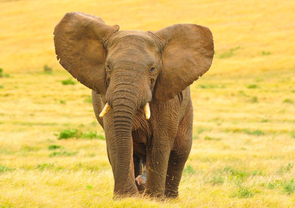African Elephant with outstretched earsl
