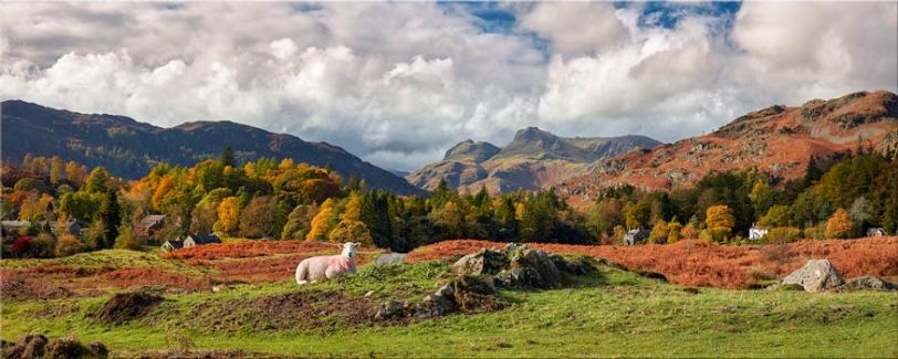 Sheep on Elterwater Common - Lake District Canvas