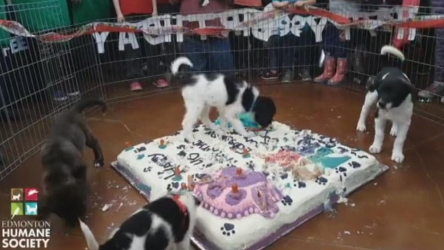 Huge Birthday Cake Watch Shelter Dogs Smash Huge Birthday Cake For Humane Societys