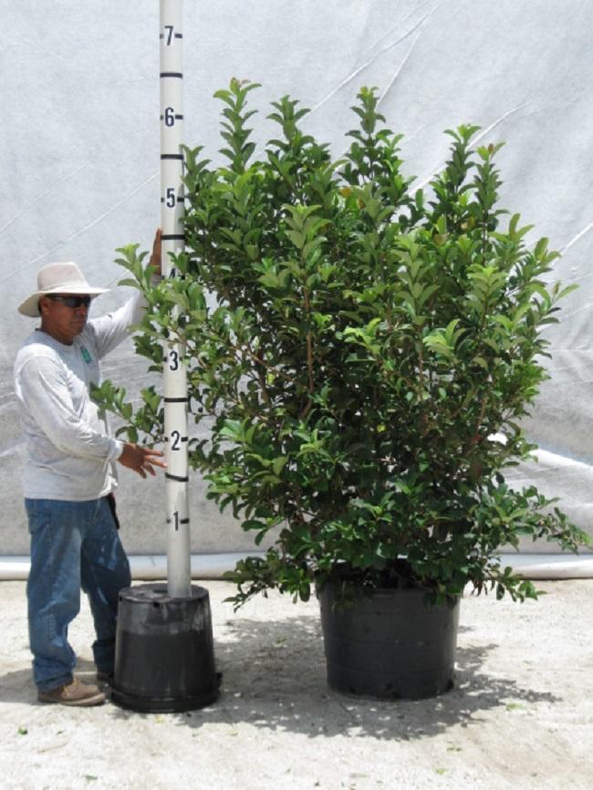 Viburnum Odoratissimum Hedge Davenport S Wholesale Nursery