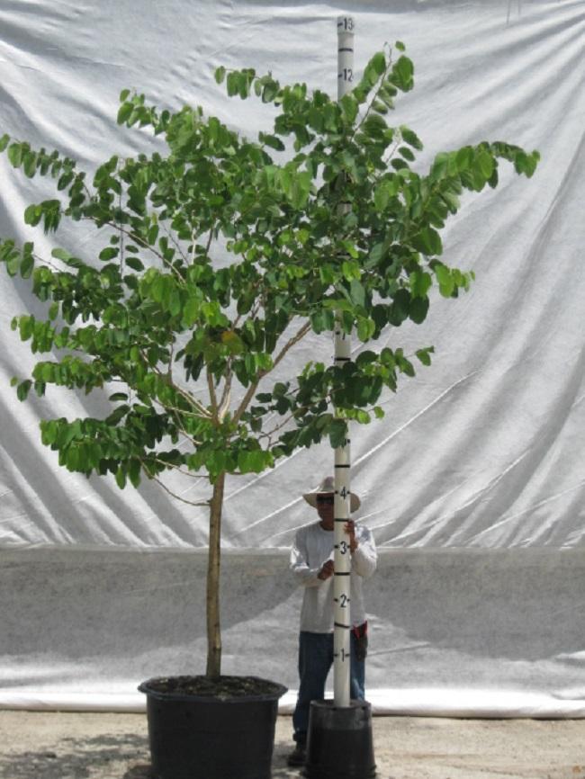 Hong Kong Orchid Tree