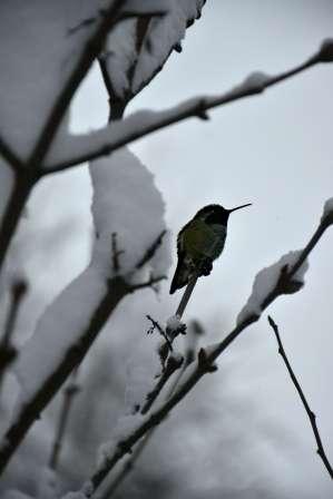 Hummingbird in Snow