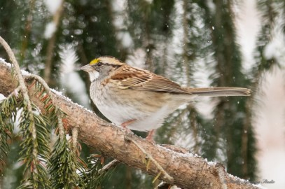 Jan 06 2015 Snowbirds-009