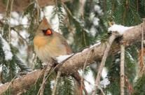 Snowbirds 2015
