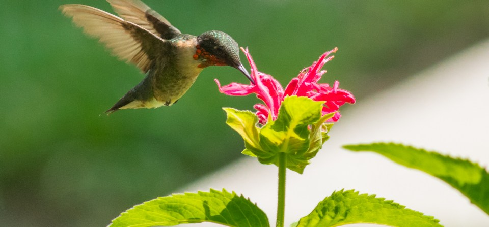Aug 17 2017 Hummingbirds and Flowers
