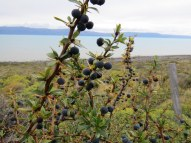 Calafate berries. These made for wonderful jams, liquor and even scented shampoo at the hotel.