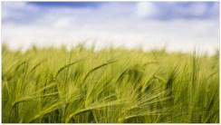 Field-of-Barley-D750-21052017-(5)
