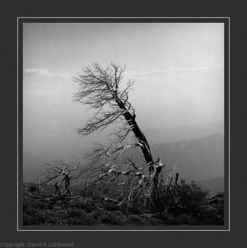Dead tree Shams