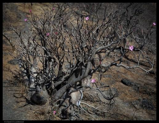 Flower 2 - Dhofar