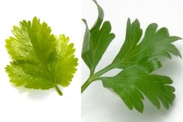 Não é tão difícil diferenciar coentro de salsinha (Foto: Reprodução)